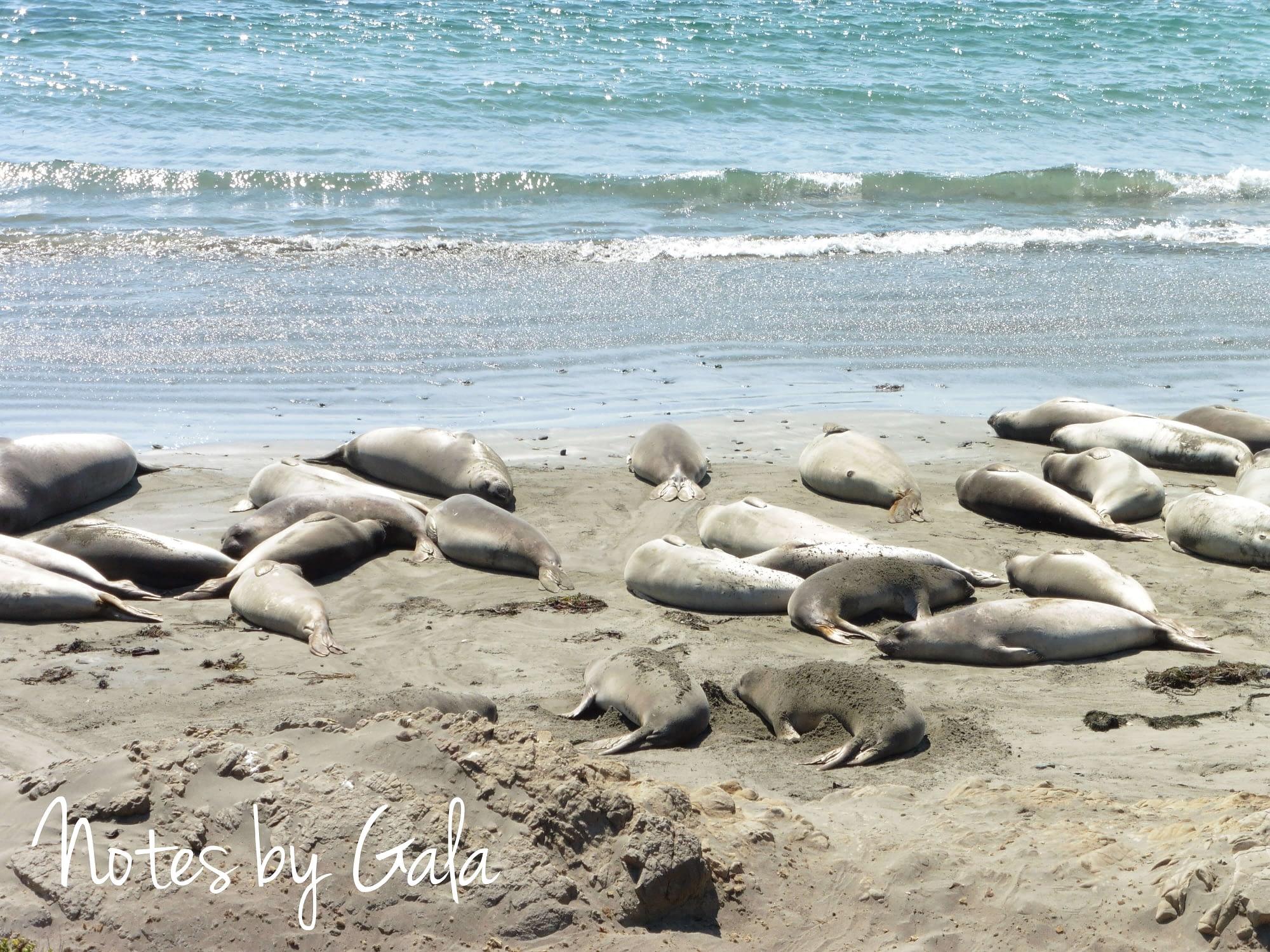 Piedras Blancas Elephant Seal Rookery California