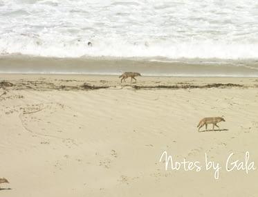 perros salvajes playas california